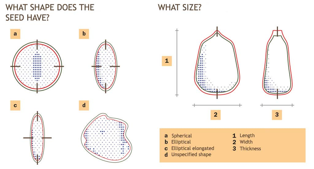 What is the shape of the seed being processed? What are its dimensions?